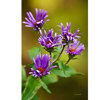 New England Aster Flowers Photographic Print