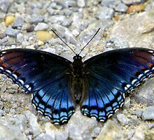 Red-spotted Purple by Lisa G. Putman