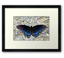 Red-spotted Purple Framed Print