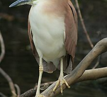 rufous night heron by Donovan wilson