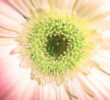 Gerbera Fade by JuliaWright
