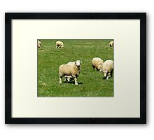 Sheep in the spring Framed Print