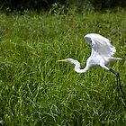 Great White Egret by steini