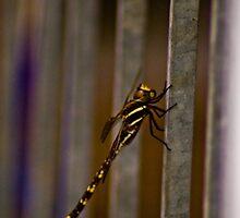 dragon fly  by luke allen