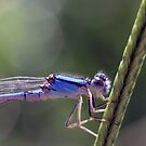 Damselfly in Grass by Debbie Sickler