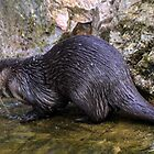 A Cold Swim For This Asian Otter............ by lynn carter