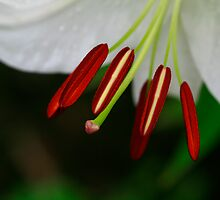 Stamen Beauty by Deborah  Benoit