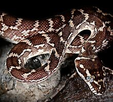 Rough Scaled Python [Morelia carinata] by Shannon Benson