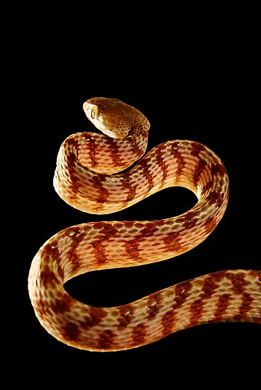 Northern Brown Tree Snake [Boiga irregularis] by Shannon Benson