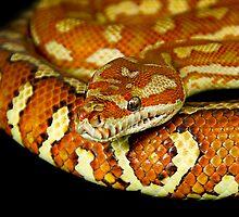 Hypomelanistic Bredl's or Centralian Carpet Python [Morelia bredli] by Shannon Benson