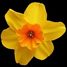 Yellow daffodil (Narcissus) by Gili Orr
