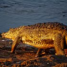Croc by chazthomson