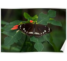 Common Crow Butterfly - Open Wings Poster
