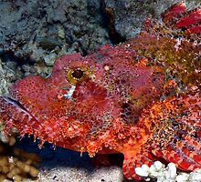 Scorpionfish  by Anders Hollenbo