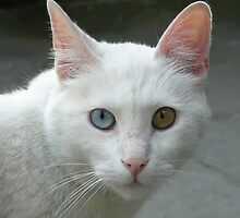 Portrait of a deaf in one ear cat... by Nuh Sarche