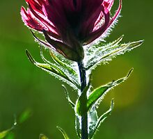 Magenta Paintbrush by ToddDuvall