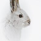 Showshoe Hare by Michael Cummings