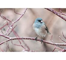 Dark-eyed Junco Photographic Print