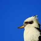 Kookaburra by Samantha  Goode