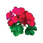 Small Magenta Geraniums by Susan Savad