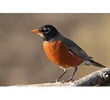 American Robin... Photographic Print