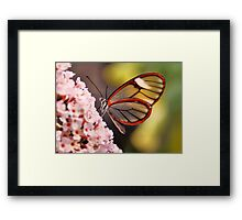 Glasswing Butterfly Framed Print