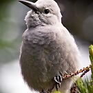 Clark's Nutcracker by ToddDuvall