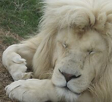 Sleeping White Lion by Karl Kruger