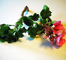 Pink Geranium by suzannem73