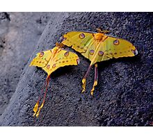 A PAIR OF COMET MOTHS Photographic Print