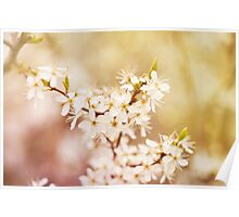 cherry tree young blossoms Poster