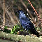 Jackdaw by larry flewers
