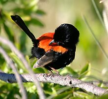 "Red-backed fairy wren (Malurus melanocephalus) ""Just checking, are my RED feathers showing enough?"" by Normf"