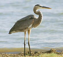 Blue Heron by Asoka