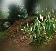 Snowdrops by samandoliver