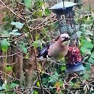 Jay on garden nut feeder by buttonpresser