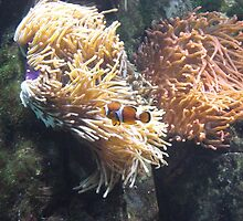 Clown Fish, Red Sea, Diving Egypt by EvilGeniusBaby