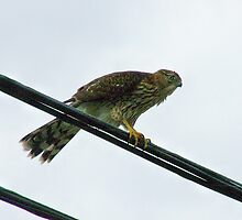 "Juvenile Cooper's Hawk by Lenora ""Slinky"" Regan"