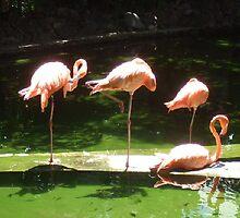 Flamingos at Punta Cana, Dominican Rep by chord0