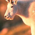 MOUNTAIN GOAT AT SUNRISE* by Chuck Wickham