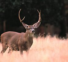 MULE DEER BUCK by Chuck Wickham