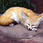 Fennec Fox by spencerphotos