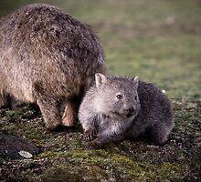 Wombats by Kelly McGill