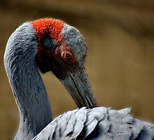 BROLGA by Cheryl Hall