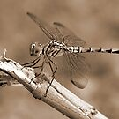 Dragon Fly - Sepia by Graham Taylor