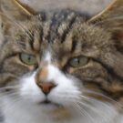 Tiggy Winks - the most gorgeous fluffy tabby I have ever seen, just look into her gorgeous green eyes! by ducatirose