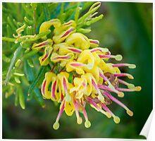 Grevillea alpina x rosmarinifolia Poster