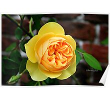 Yellow Rose ~ Symbol of Friendship Poster