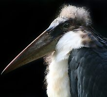 Marabou Stork by Linda More