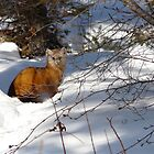 "Pine Marten  aka,Sable, ""You Can't See Me"" by MaeBelle"